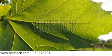 Close Up Of Acer Platanoides Norway Maple With Sunlit New Leaves On Natural Background. Image With S