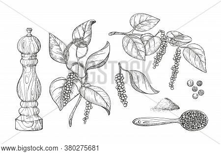 Culinary Black Pepper Hand Draw Set Isolated On White Background. Pepper Plant With Leaves, Engraved