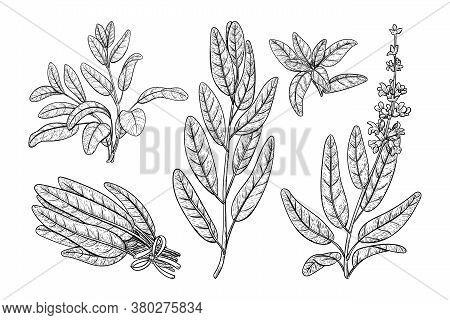 Sage Plant With Leaves. Salvia Sketch Vector Herbal Engraved Print. Vintage Sketch Element For Label