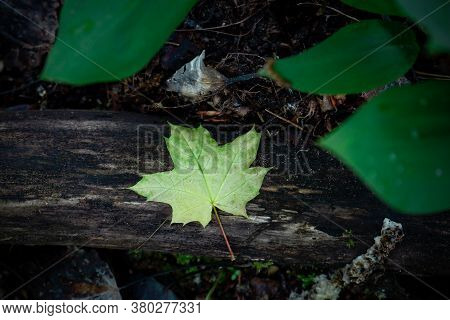 Green Small Maple Leaf On Fallen Tree Trunk Nature Background