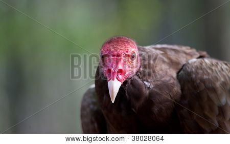 Turkey Vulture