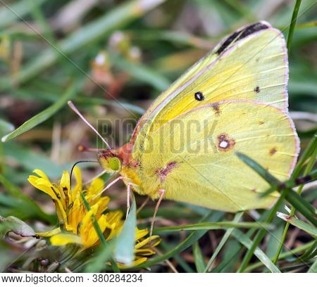 Clouded Sulphur (colias Philodice) Drinking Flower Nectar. Rouge National Urban Park, Ontario, Canad