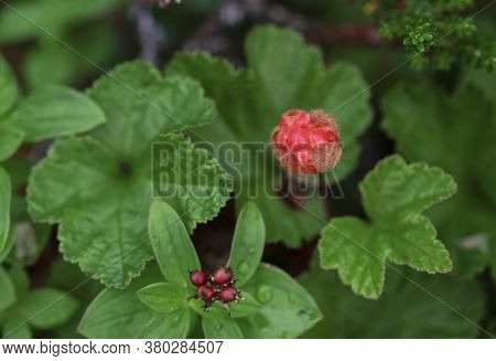 Ripe Red Cloudberry On A Background Of Green Leaves In The Boreal Forest
