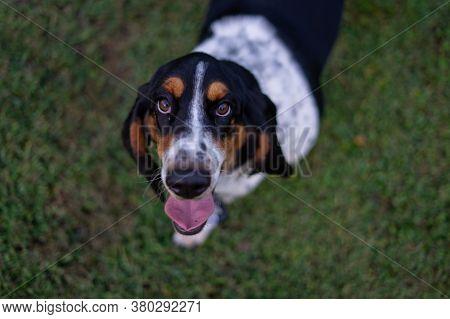 Cute Basset Hound Standing On Grass Begging
