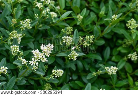 Close-up Of An Inflorescence In A Privet Hedge With White Buds And Flowers