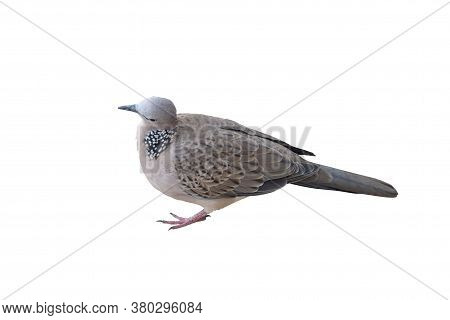Zebra Dove Is Standing Tilted Head Suspiciously On A White Background.