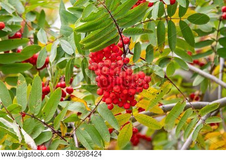 A Bunch Of Red Rowan In Autumn Leaves. Autumn Bright Red Rowan Berries With Leaves