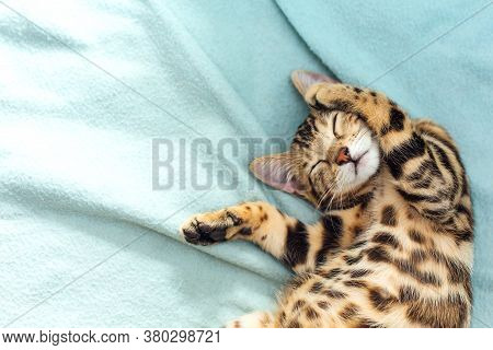 Little Bengal Kitty Laying On The Blue Background.