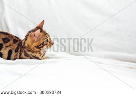 Bengal Cat Laying On The White Background.