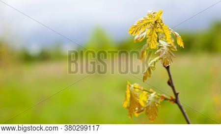 Branches With Yellow Leaves On A Background Of Glade In Drops Of Dew, Spring Nature After The Rain.
