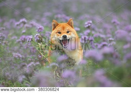 Crazy And Happy Red Shiba Inu Dog Running In The Violet Flowers Field. Phacelia Blossoms. Beautiful