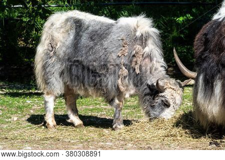The Domestic Yak, Bos Grunniens Is A Long-haired Domesticated Bovid Found Throughout The Himalayan R