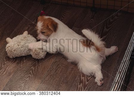 One Small Charming Puppy Of A Rough-coated Jack Russell Terrier. English Hunting Dog Breed. The Jack