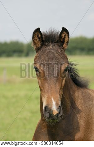 Attentive Brown Foal With Head And Mane In Close-up