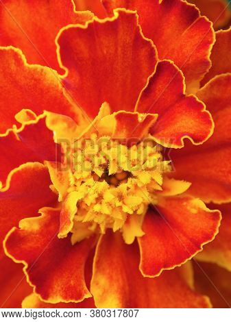 Marigold Flower Close Up. Vertical Illustration On The Theme Of Summer And Flowering. Bright Red Pet