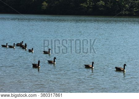 Georgia Wood Ducks, Mallard Ducks,dabbling Ducks,american Wigeon Ducks.