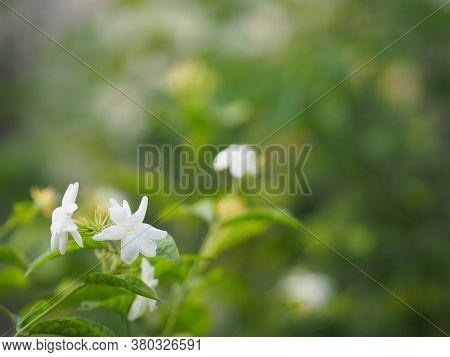 Arabian Jasmine, Jasminum Sambac, Oleaceae White Flower Cool Fragrance Blooming In Garden On Blurred