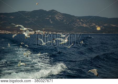 A Group Of Seagulls Flying Over Sea Behind The Ship. The Seagulls Fly After Pieces Of Bread Thrown F