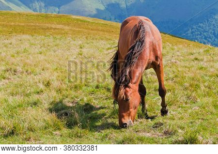 A Young Brown Horse Grazing In The Valleys Of The Mountains. Carpathians, Ukraine.