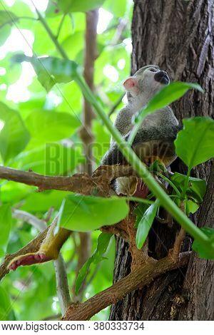 Squirrel Monkeys Of The Genus Saimiri. A Monkey Sits On A Tree Branch Among The Foliage.