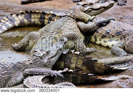 Many Crocodiles Lie Alternately In The Water. Natural Background.