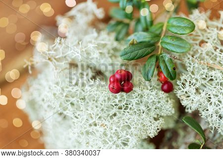 nature, environment and botany - close up of cowberry and reindeer lichen moss