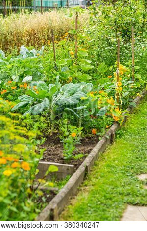 Sideview to kitchen garden with vegetables, herbage and flowers and oats in background