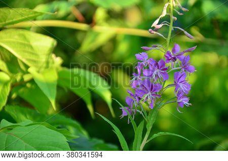 Beautiful Purple Flower On Green Foliage Background. Chive Herb Flowers On Beautiful Bokeh Backgroun