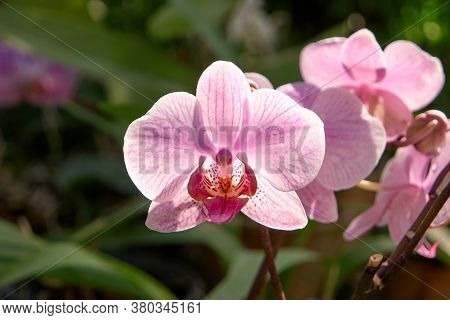 Close Up Blooming Flowers Of Striped Orchid. Close Up Phalaenopsis Flowers. Beautiful Nature Backgro