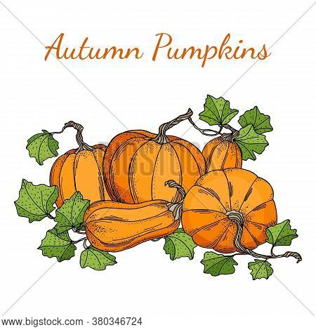 Autumn Vector Pumpkins Illustration. Hand Drawn Pile Of Pumpkins With Leaves Isolated On White Backg