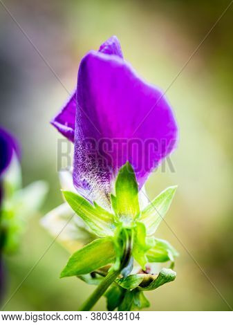 Blossoming Purple Garden Pansy (viola Wittrockiana) With Blur Background