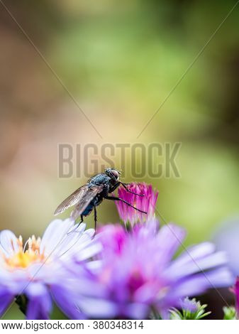 A Blue Blowfly (calliphora Vicina) Posing On A New England Aster (symphyotrichum Novae-angliae / Ast