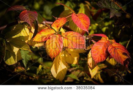 Colorful Brambleberry Leaves In Fall