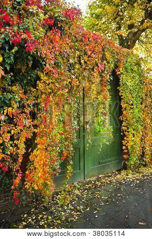 bunte Virginian Kriecher wächst über eine Mauer im Herbst