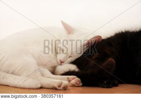 Black And White Cats Rest And Sleep In Living Room Of Apartment. Two Dear Sweet Female Cats Enjoy At
