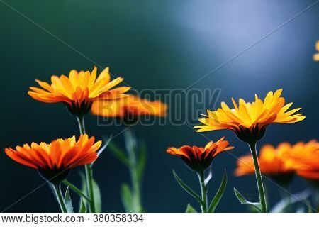 Orange Calendula Flowers. Blooming Marigold Flowers. Orange Calendula On A Green Grass. Garden With