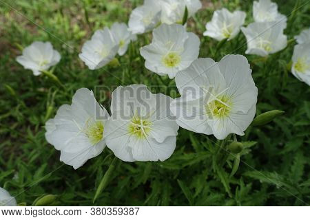 Florescence Of White Oenothera Speciosa In May