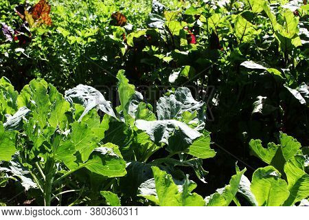 Beets In The Garden. Leaf Of Beet.row Of Green Young Beet Leaves. Close Up Of Beet Leaves Growing On