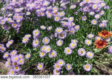 Florescence Of Violet Erigeron Speciosus In June