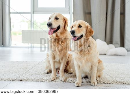 Pair of golden retriever at home