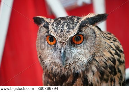 Close Up Face Of Owl In The Zoo, Nocturnal Animals