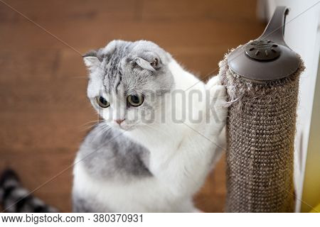 Scottish Fold Cat Using Scratching Post. Cat Scratching Nails. Pet At Home. Pet Care