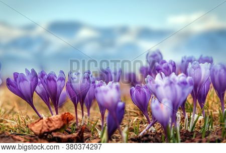 Wonderful Spring View Of Alpine Crocuses Blossom In The Mountains Of The Carpathians On Top Of The M