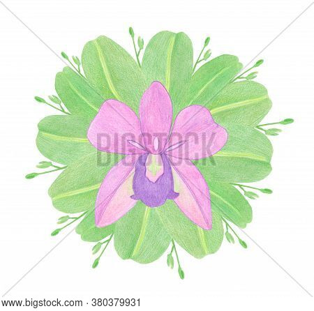 Pink Orchid Phalaenopsis Watercolor Illustration. Beautifull Exotic Flower In A Full Bloom With Gree