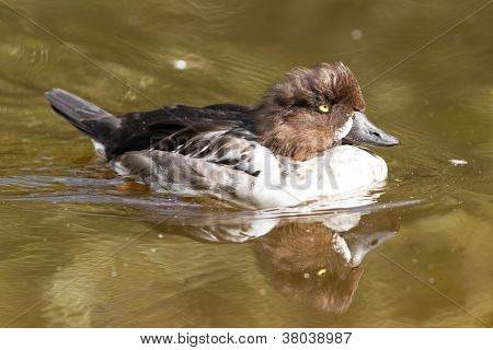 Swimming Female Tufted Duck, Changing It's Plumage
