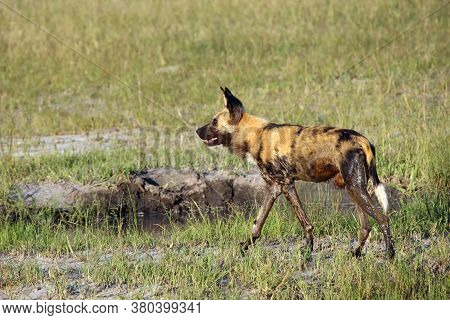 He African Wild Dog (lycaon Pictus), Also Known As African Hunting  Or African Painted Dog Or Painte