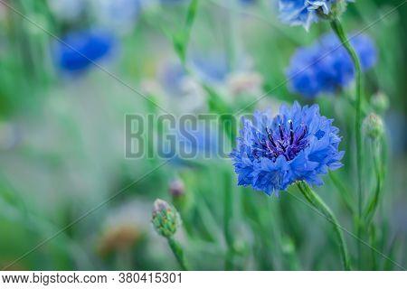 Jubilee Gem, Close Up, Bluish Flower Cornflower On A Greenish Background