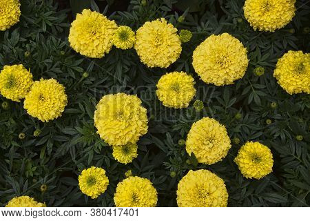Tight Cluster Of Yelow Marigold Flowers On A Green Leaf Background