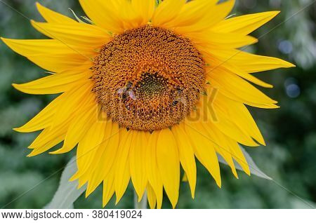 Yellow Sunflower Flowers With Petals And Stamens, Natural Flowers Close-up