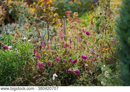 Flowers In Autumn Garden. Autumn Garden With Fall Flowers